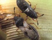 Southern Chinch Bug